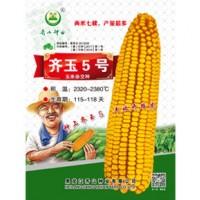 供应齐玉5号玉米种子