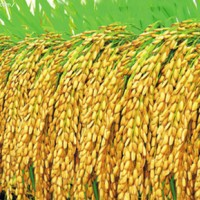 供应齐山绥粳4号水稻种子