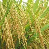 供应齐山绥粳九水稻种子