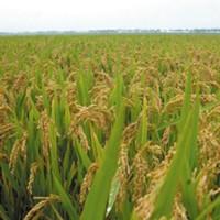 供应齐山普粘九水稻种子