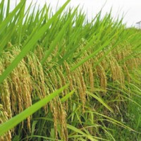 供应齐山肯稻12号水稻种子