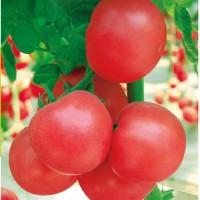 供应早熟粉佳人粉果番茄种子