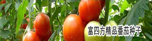 富四方精品番茄种子