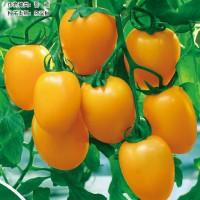 供应黄色金灿番茄种子(黄色罗曼类)