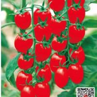 供应红色樱桃番茄粒粒甜种子