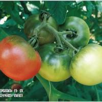 供应蜜番粉红色口感类番茄种子