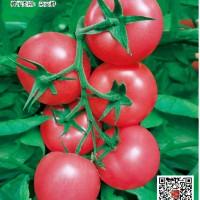 供应盛华粉果番茄种子