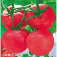 供应盛京粉果番茄种子