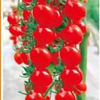 供应甜蜜蜜红果樱桃番茄种子