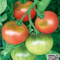 供应甜欣口感型番茄种子